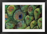 Framed Peacock Feather Design