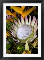 Framed Queen Protea, Kwazulu Natal, South Africa