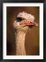 Framed Namibia, Common Ostrich bird