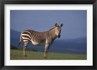 Framed Rare Cape Mountain Zebra, South Africa
