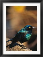 Framed Namibia. Lesser Blue-eared Glossy Starling bird