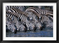 Framed Plains Zebra Herd Drinking, Telek River, Masai Mara Game Reserve, Kenya