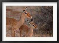 Framed Mother and Young Impala, Kenya