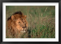 Framed Head of Male African Lion, Tanzania