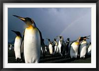 Framed Rainbow Above Colony of King Penguins, Saint Andrews Bay, South Georgia Island, Sub-Antarctica