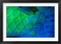 Framed Rusty Parrotfish Tail