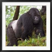 Framed Rwanda, Mountain Gorilla, No 2 Silverback