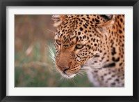 Framed Samburu Leopard, Kenya