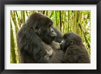 Framed Rwanda, VP, Baby Mountain Gorilla Breast Feeding