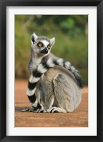 Framed Close up of Ring-tailed Lemur, Madagascar