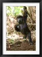 Framed Rwanda, Mountain gorilla, volcanoes national park