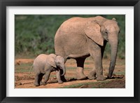 Framed South Africa, Addo Elephant NP, Baby Elephant