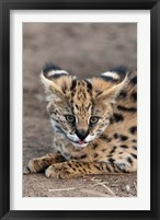 Framed Serval Cat, Kapama Game Reserve, South Africa