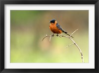 Framed Redbreasted Swallow, Hluhulwe, South Africa
