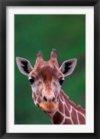 Framed Reticulated Giraffe, Impala Ranch, Kenya