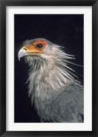 Framed Secratarybird, South Africa