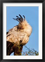 Framed Secretarybird seen in the Masai Mara, Kenya