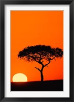 Framed Single Acacia tree at sunrise, Masai Mara, Kenya
