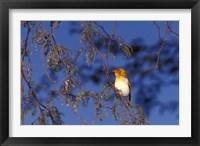 Framed Red-billed Quelea, Zimbabwe