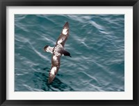 Framed Sea Bird of Cape Petrel, Antarctica