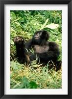 Framed Rwanda, Six year old mountain Gorilla, March