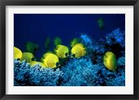 Framed School of Masked Butterflyfish, Red Sea, Egypt