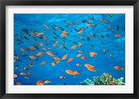 Framed Scalefin Anthias, Elphinstone Reef, Red Sea, Egypt
