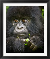 Framed Rwanda, Volcanoes NP, Close up of a Mountain Gorilla