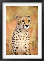 Framed Sitting Cheetah at Africa Project, Namibia