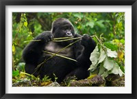 Framed Rwanda, Blackback Mountain Gorilla, Buffalo Wall
