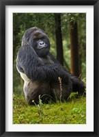 Framed Mountain Gorilla, Rwanda