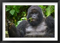 Framed Mountain Gorilla Chewing Leaves, Rwanda