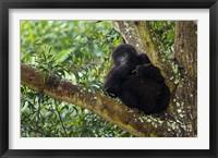 Framed Rwanda, Mountain Gorilla forages, Buffalo Wall