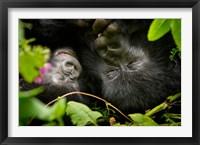 Framed Rwanda, Mountain Gorilla, Volcanoes NP
