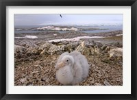 Framed Southern giant petrel bird, Antarctic Peninsula
