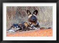 Framed South Africa, Madikwe Game Reserve, African Wild Dog