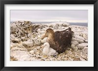 Framed Southern giant petrel nest, Antarctic Peninsula