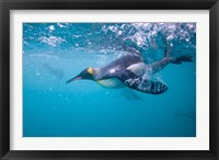 Framed King Penguin Underwater