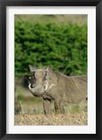 Framed South Africa, KwaZulu Natal, Zulu Nyala GR, Warthog