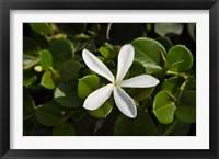 Framed South Africa, Durban, Num Num flower