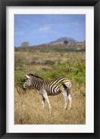 Framed South Africa, Zulu Nyala Game Reserve, Zebra