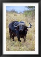 Framed South Africa, Zulu Nyala GR, Cape Buffalo