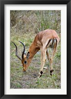 Framed South Africa, Zulu Nyala GR, Impala wildlife