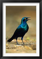 Framed South Africa, Kruger, Greater Blue Eared Starling bird