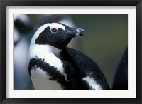 Framed Close up of African Penguin