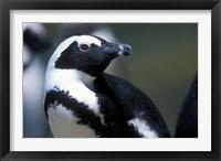 Framed Close up of African Penguin