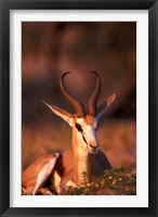 Framed South Africa, Springbok wildlife, Kalahari Desert