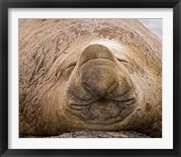Framed South Georgia Island, Sleeping bull elephant seal