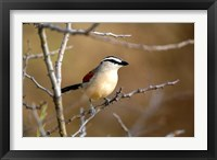 Framed Three Streaked Tchagra bird, Etosha NP, Namibia
