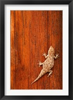 Framed Tokay Gecko lizard, Striated Wood, Africa
